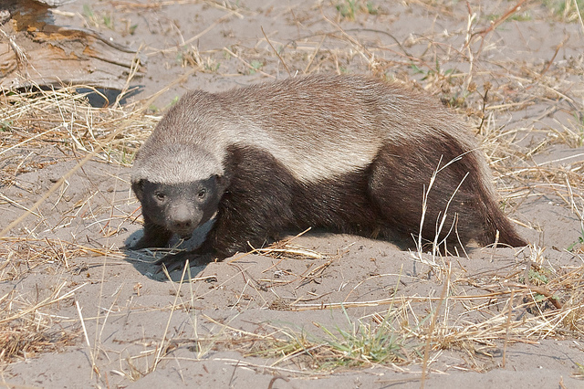 What Kills a Honey Badger?